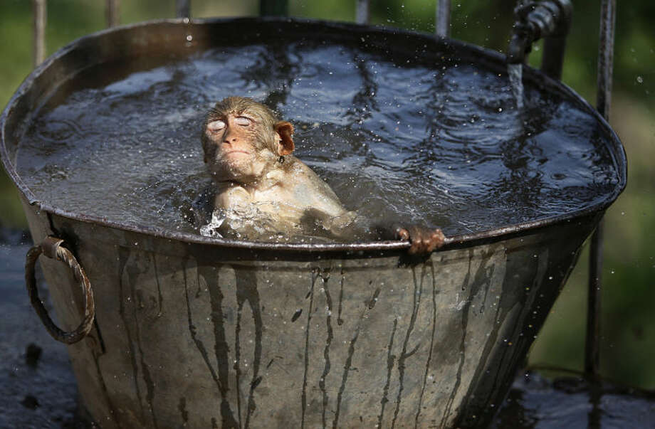 A monkey cools off in a water tub in the premises of a Hindu temple on a hot summer afternoon in Jammu, India, Wednesday, June 11, 2014. Severe heat conditions are prevailing across northern India with temperatures soaring past 45 degrees Celsius (113 Fahrenheit) at several places. (AP Photo/Channi Anand)
