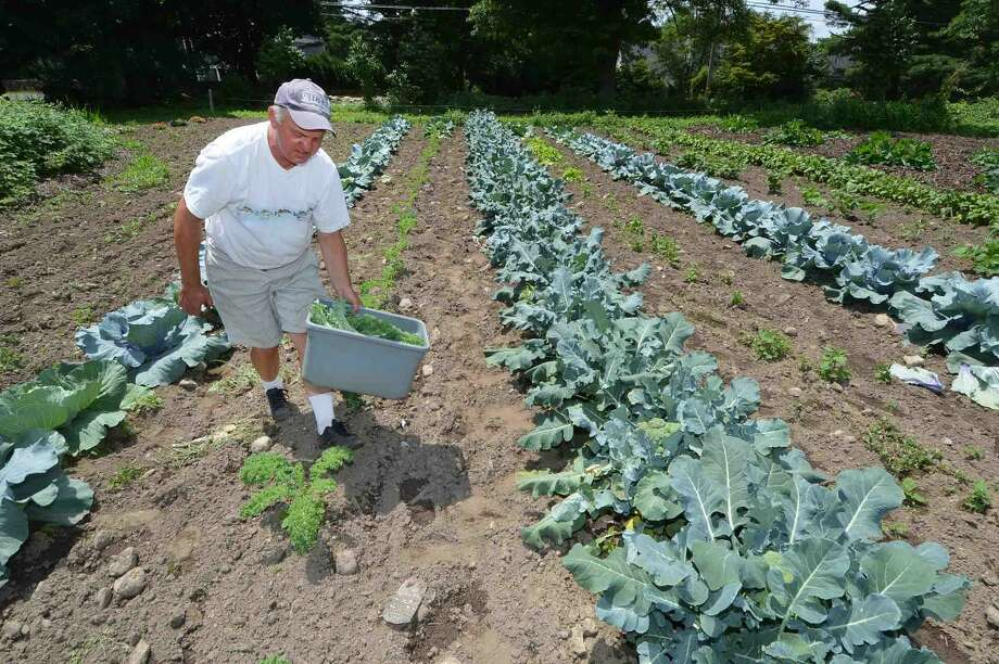 Hour Photo/Alex von Kleydorff Don Offinger makes his way between rows of Broccoli and cabbages while cutting some Kale for the Offingers Farm Stand on Chestnut Hill Rd in Wilton. Other items like beets and rhubarb being harvested now, along with fresh flowers, and lettuce. The Jet Star tomatoes and sweet corn and much more are not far off .