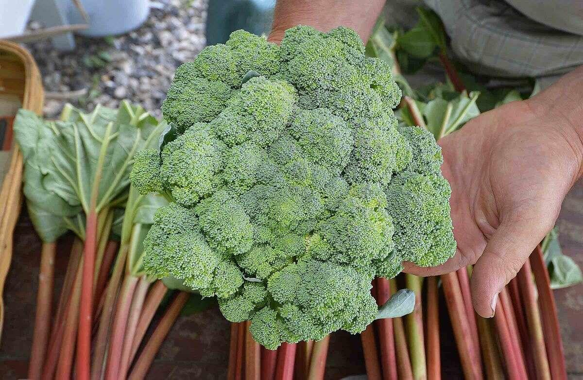 Hour Photo/Alex von Kleydorff A fresh cut head of Broccoli at Offingers in Wilton