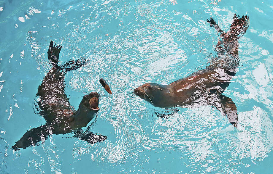 Jaxson, left, and Hendrix, right, reach for a fish at the Oklahoma City Zoo in Oklahoma City, Thursday, July 2, 2015. The two male California sea lions came to the zoo from The Marine Mammal Center in Sausalito, Calif., after being found stranded and malnourished multiple times. The were deemed non-releasable by the National Marine Fisheries Service and the zoo was determined to be a suitable home for them. (AP Photo/Sue Ogrocki)