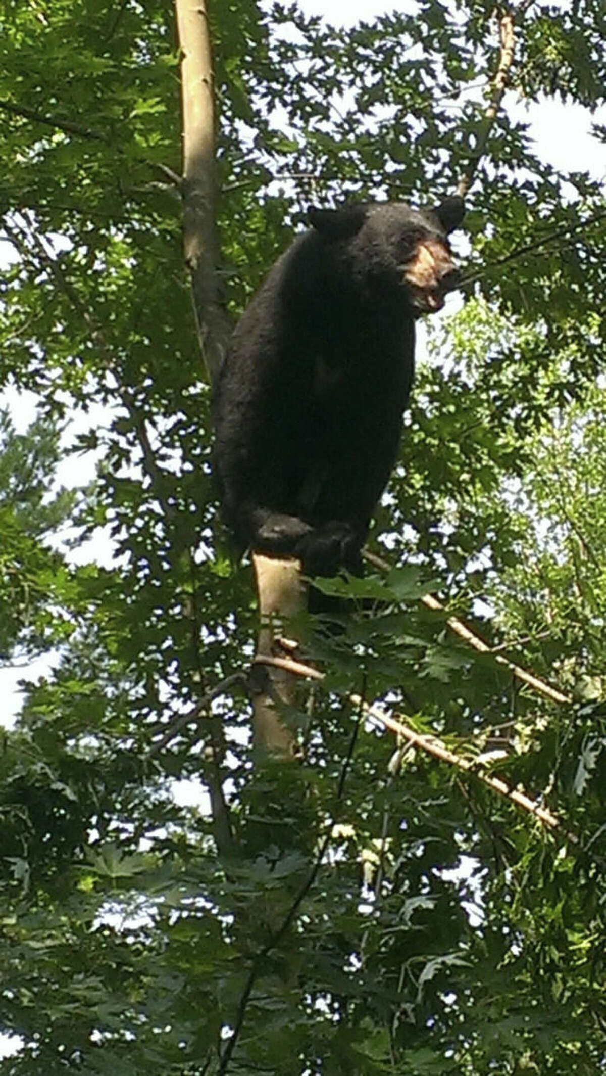 In this Sunday, July 5, 2015 photo provided by the Hartford Police Department, a black bear is up a tree in Hartford, Ct. The 250-pound male estimated to be about 3-and-a-half years old was spotted on Colebrook Street in the Blue Hills area at about 9:30 a.m. Sunday. The bear safely was tranquilized and relocated by state environmental officers. (Hartford Police Department via AP)