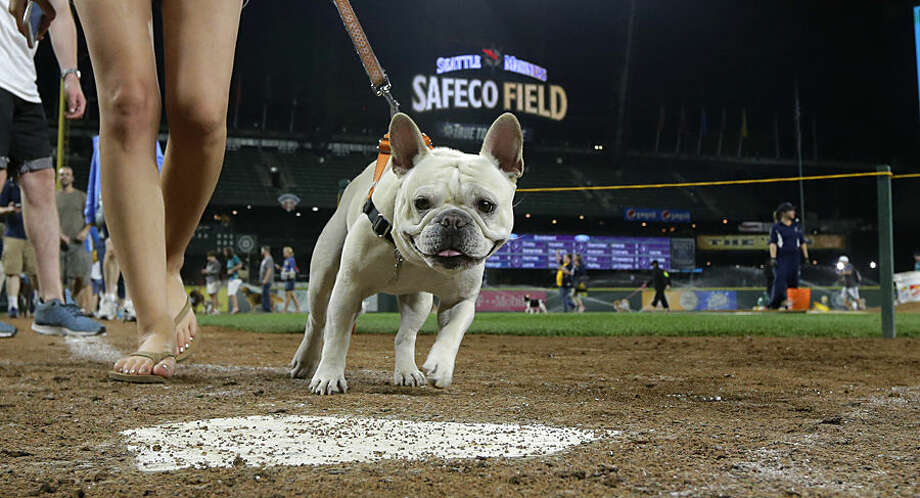 """A dog crosses home plate as part of the Seattle Mariners' """"Bark at the Park"""" night following a baseball game between the Mariners and the Los Angeles Angels, Thursday, July 9, 2015, in Seattle. (AP Photo/Ted S. Warren)"""