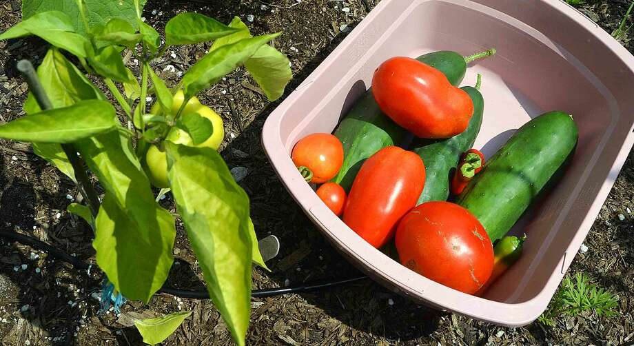 Ripe for picking, cucumbers, peppers and tomatos in the garden at Trackside Teen Center.