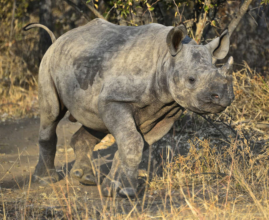 In this photo taken June 28, 2014 and supplied by a board director of The Rhino Orphanage, a baby rhino runs in the bush at the facility, which is near a lodge at the Entabeni Safari Conservancy, in the northern part of South Africa. Poachers who kill rhinos for their horn sometimes leave rhino orphans that struggle to fend for themselves in the wild. (Dex Kotze/The Rhino Orphanage via AP)
