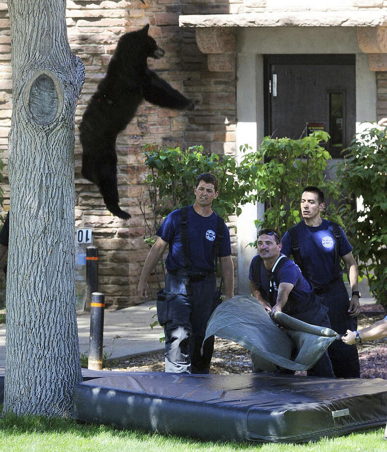A tranquilized bear falls from a tree after being darted by Colorado Department of Wildlife officers on Friday morning, July 10, 2015 on the University of Colorado campus, in Boulder, Colo. (Cliff Grassmick/The Daily Camera via AP) NO SALES; MANDATORY CREDIT