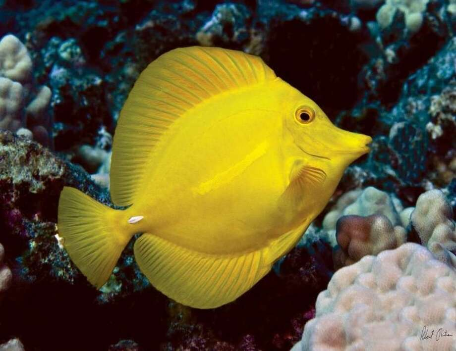 This undated image provided by Robert Wintner shows a yellow tang in Hawaii. The waters off the Hawaii's largest island are home to a half-million brightly-colored tropic fish that are scooped up into nets each year and flown across the globe into aquariums from Berlin to Boston. Scientists say the aquarium fishery off the Big Island is among the best managed in the world, but it has nevertheless become the focus of a fight over whether it's ever appropriate to remove these fish from reefs for people to look at and enjoy. (AP Photo/Robert Wintner)