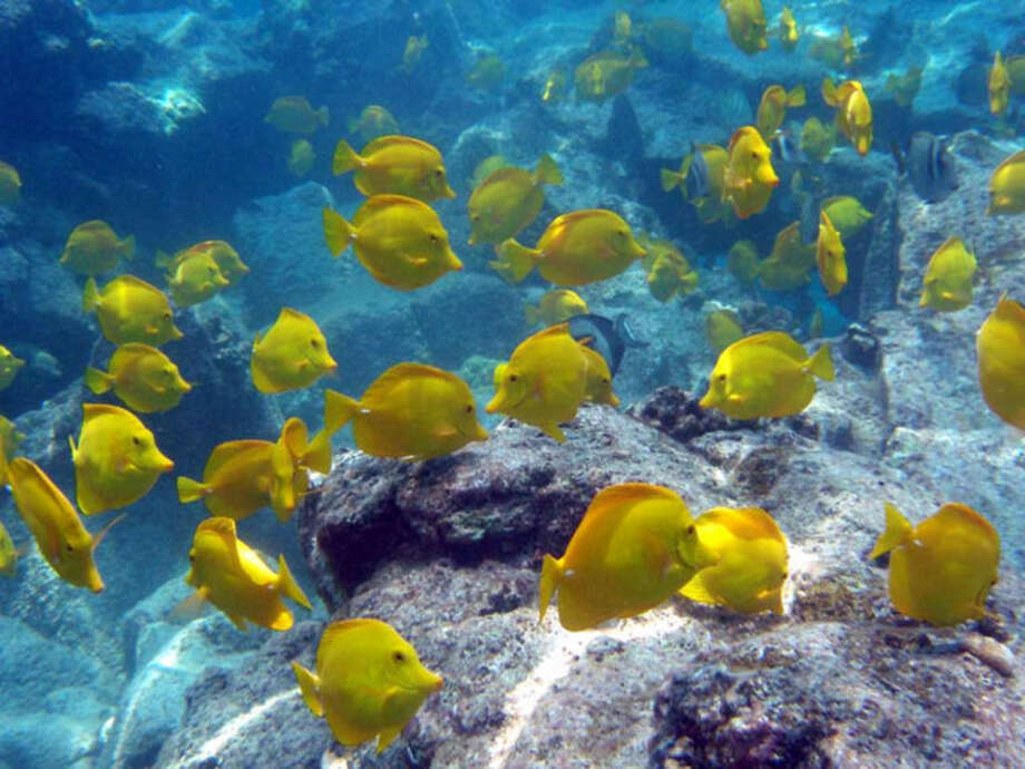 File-This undated file photo from Oregon State University shows a school of yellow tang off the coast of Hawaii. The waters off the Hawaii's largest island are home to a half-million brightly-colored tropic fish that are scooped up into nets each year and flown across the globe into aquariums from Berlin to Boston. Scientists say the aquarium fishery off the Big Island is among the best managed in the world, but it has nevertheless become the focus of a fight over whether it's ever appropriate to remove fish from reefs for people to look at and enjoy. (AP Photo/Oregon State University, Bill Walsh,File) NO SALES