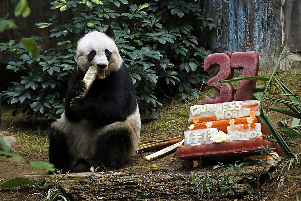 Giant panda Jia Jia eats bamboo next to her birthday cake made with ice and vegetables at Ocean Park in Hong Kong, Tuesday, July 28, 2015 as she celebrates her 37-year-old birthday. Jia Jia broke the Guinness World Records title for