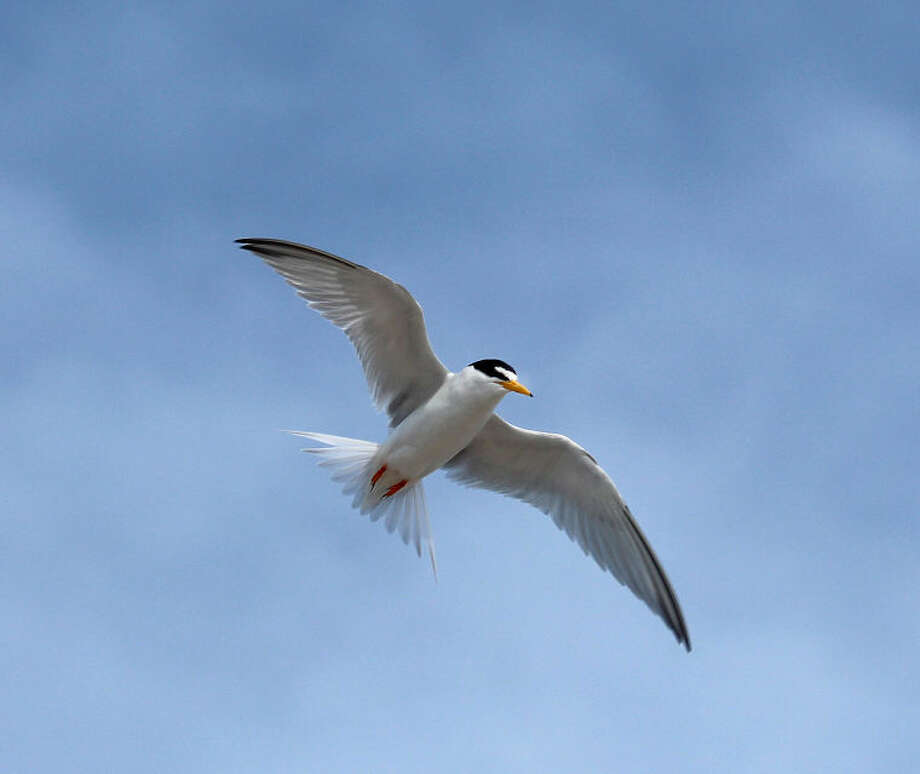 Photo by Chris BosakA Least Tern flies over its nesting grounds at Milford Point in Milford, CT, in June 2014.