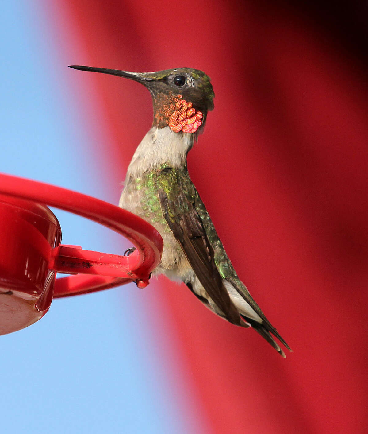 Photo by Chris Bosak A male Ruby-throated Hummingbird perches on a feeder at a hotel in Errol, N.H., in this summer 2015 photo.