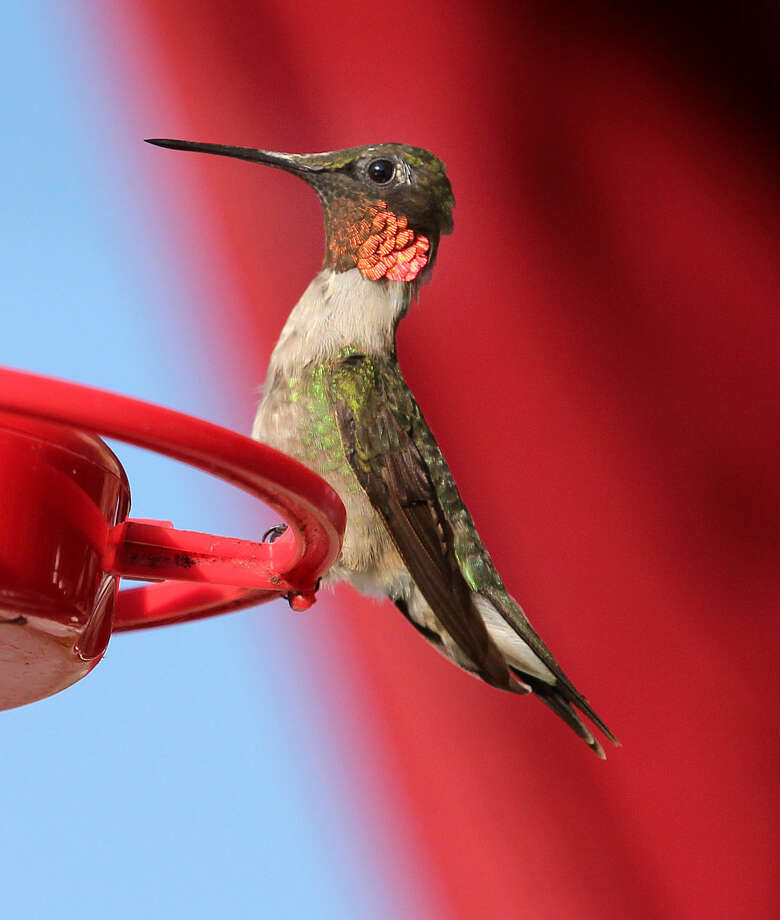 Photo by Chris BosakA male Ruby-throated Hummingbird perches on a feeder at a hotel in Errol, N.H., in this summer 2015 photo.