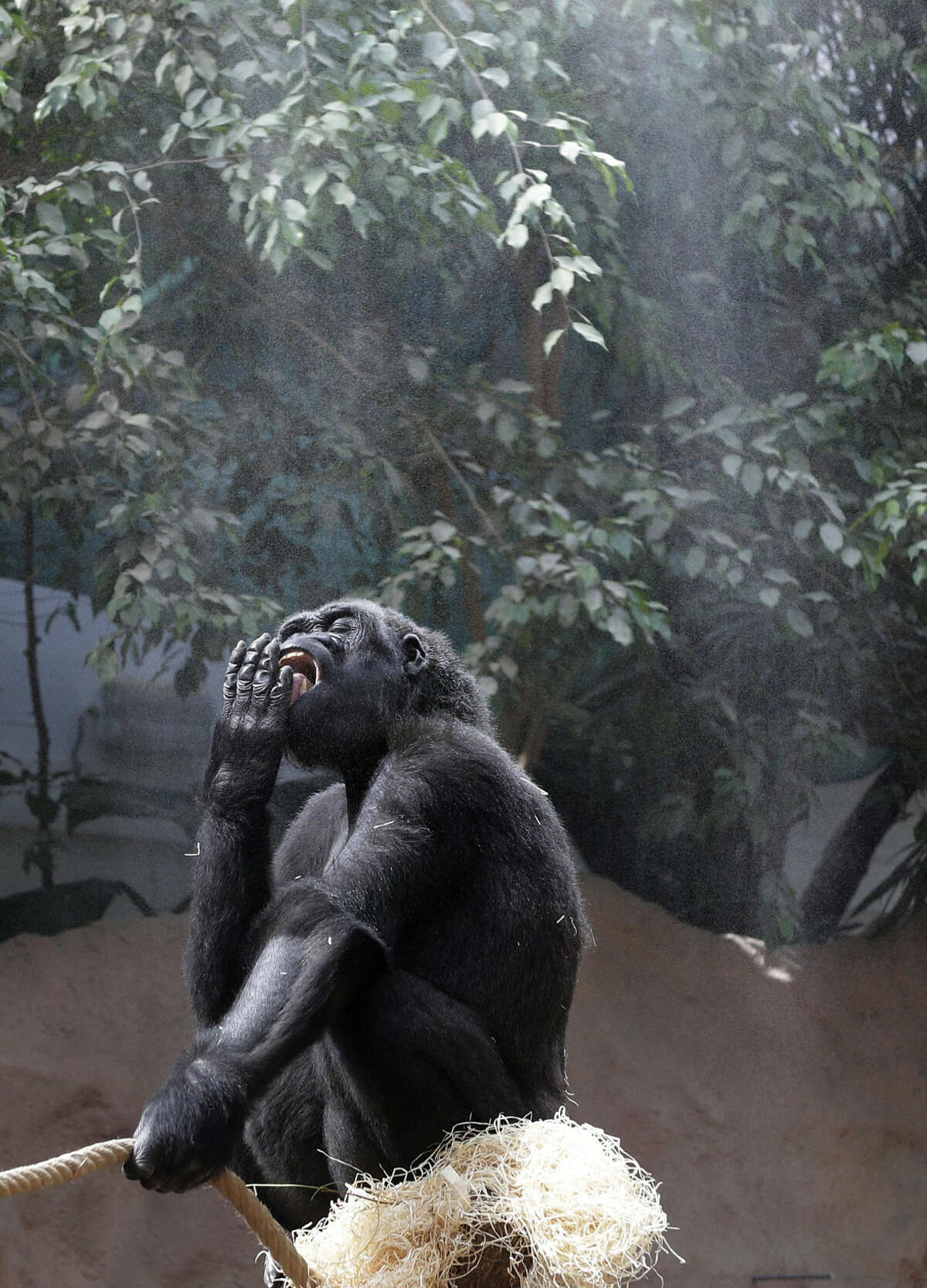22 year-old gorilla Kijivu cools off under a refreshing mist shower as the temperature climbs to forecasted record highs at the zoo in Prague, Czech Republic, Friday, Aug. 7, 2015. (AP Photo/Petr David Josek)