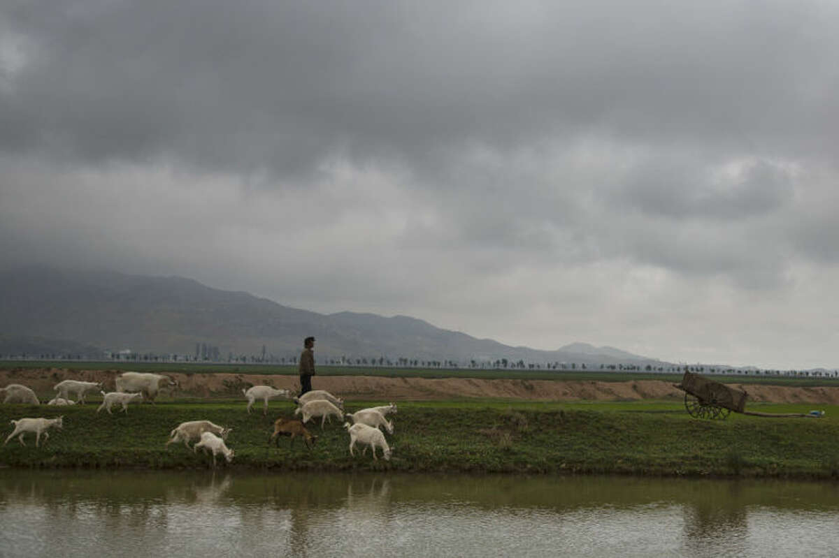 In this Friday, June 20, 2014 photo, a North Korean man herds goats in a field southeast of Pyongyang, North Korea. For more than four decades, farming in North was characterized by heavy use of mechanization and technological innovations, swiftly followed by chronic fuel and equipment shortages and long-term damage caused by stopgap policies. That legacy has left its mark not only on the North Korean psyche, but on its countryside. Cows are few, but goats are everywhere. They are easier to care for and require less food, but also can eat their way into crops or overgraze fields. (AP Photo/David Guttenfelder)