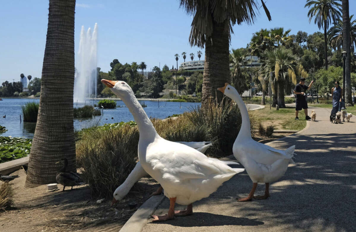 Geese eat food left for them in the shade of a palm tree at Echo Park Lake near downtown Los Angeles on Friday, Aug. 14, 2015. The National Weather Service says Southern California's sharp warming trend will build into the weekend, with above-normal temperatures in many areas. Forecasters say the hottest conditions will be Friday through Sunday. Valley and desert temperatures will range from 100 to108 degrees, with highs from 85 to 95 elsewhere. (AP Photo/Richard Vogel)