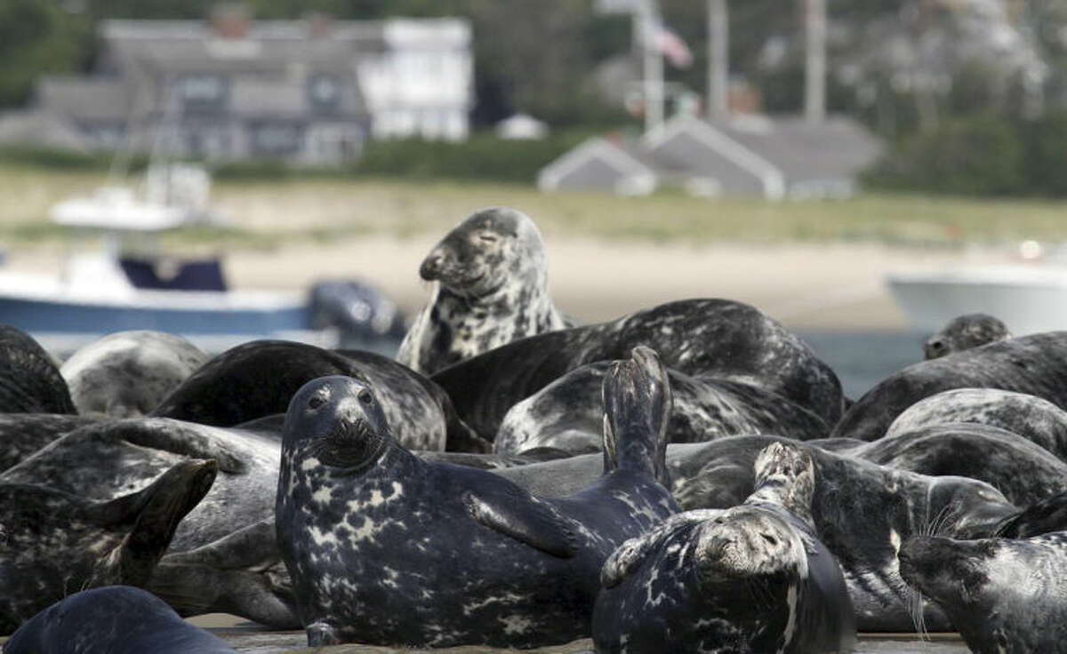 In this July 1, 2014 photo released by the International Fund for Animal Welfare, (IFAW) gray seals congregate on the shore in Chatham, Mass. Decades after gray seals were all but wiped out in New England waters, the population has rebounded so much that they are taking over large stretches of shore, attracting sharks which feed on them, and are interfering with fishing charters. (AP Photo/International Fund for Animal Welfare)