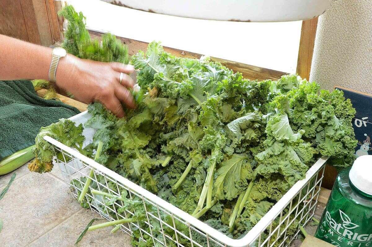 Hour Photo/Alex von Kleydorff Fresh cut Kale chilled and ready