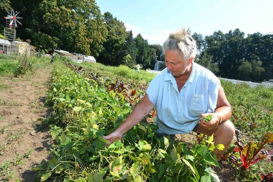 Hour Photo/Alex von Kleydorff Donna Benz picks Italian Butter Beans out in the garden at Bucciarelli Farm off Ponus Ave. on Monday. The farm always has fresh picked vegetables like eggplant, squash peppers, tomatoes and herbs also sweet corn is brought in every morning.