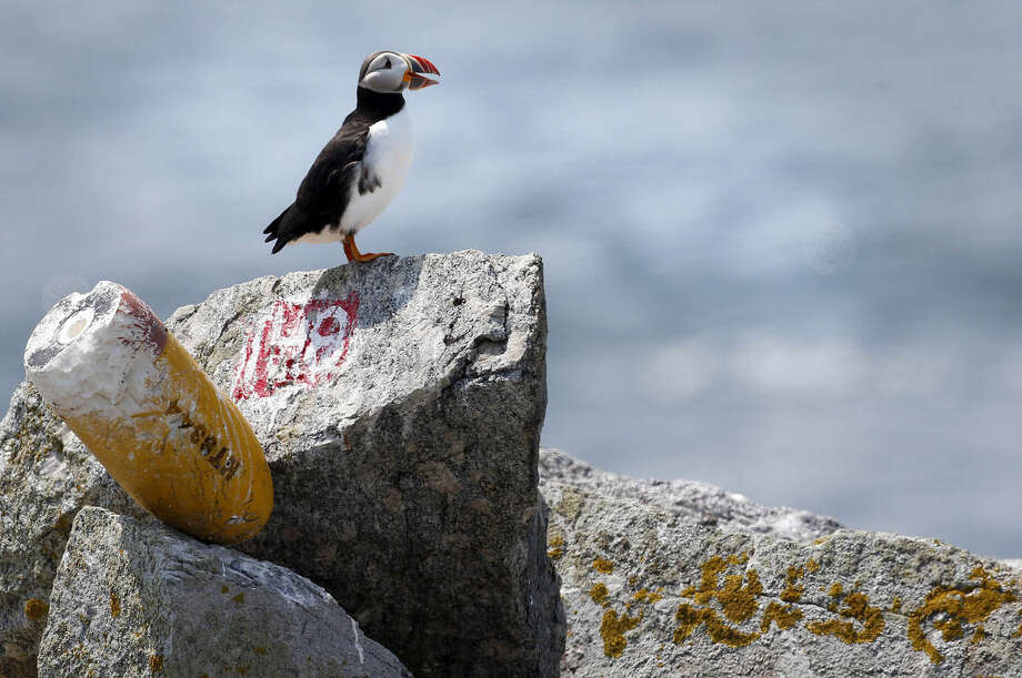 In this photo made Friday, Aug. 1, 2014, the burrow location of an Atlantic puffin is marked by a number and a weed-up lobster buoy on Eastern Egg Rock, Maine. Wildlife biologists who spend time in blinds use the markings to keep track of puffin feedings. (AP Photo/Robert F. Bukaty)