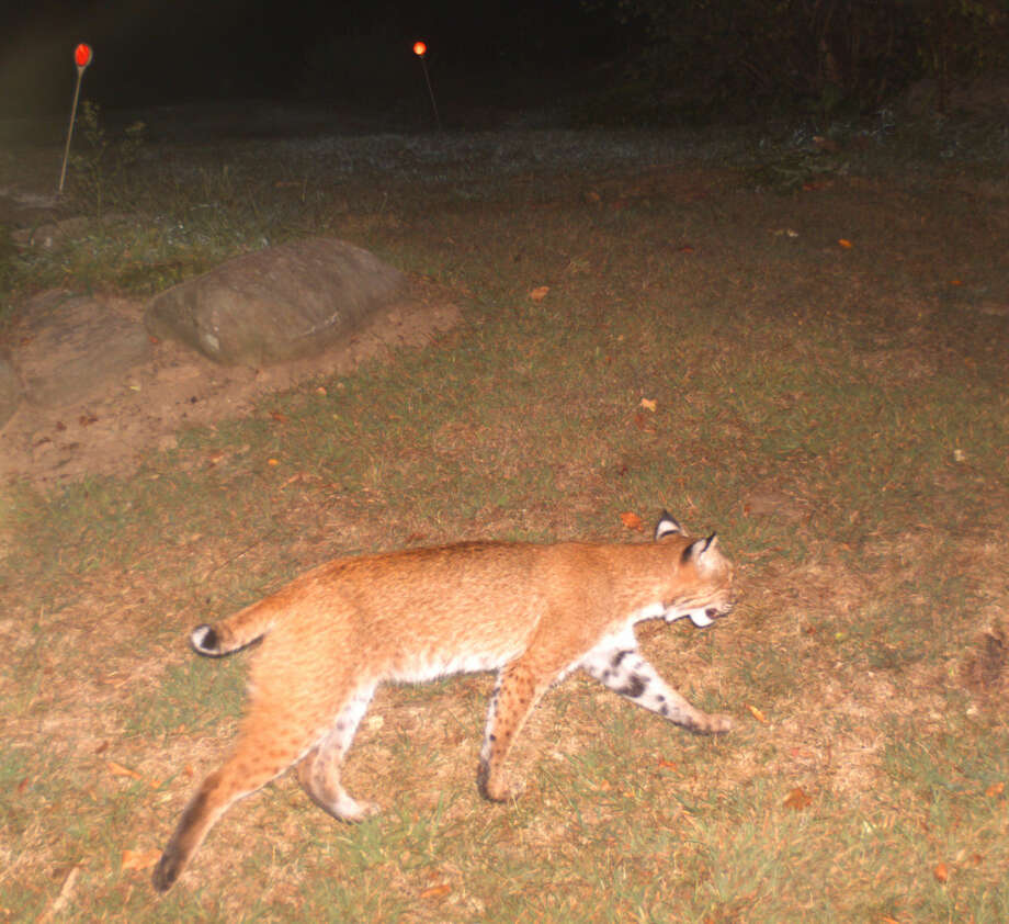 Rich Conklin used a game camera to capture this image of a bobcat walking near the Wilton/Norwalk border in Sept. 2015.