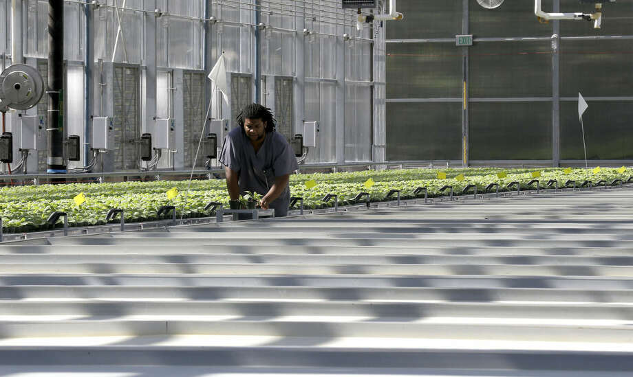 In this photo taken Thursday, Aug. 14, 2014 biotech greenhouse associate specialist Derek Haynes wheels a cart of young plants through the greenhouse at Medicago USA, Inc. in Research Triangle Park, N.C. Through it's plant-based technology, the facility is capable of producing millions of doses of vaccines. (AP Photo/Gerry Broome)