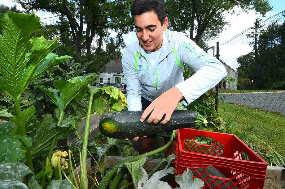 Hour Photo/Alex von Kleydorff Cooper Pellaton picks some of the big Zuchini Squash from the Neighborhood Garden at Trackside, they will donate the harvest to the Food Bank