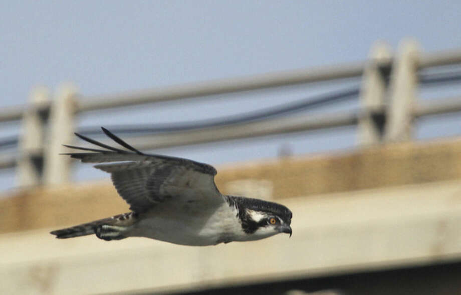 Photo by Chris BosakA young Osprey swims over the Norwalk River near the Yankee Doodle Bridge this week.