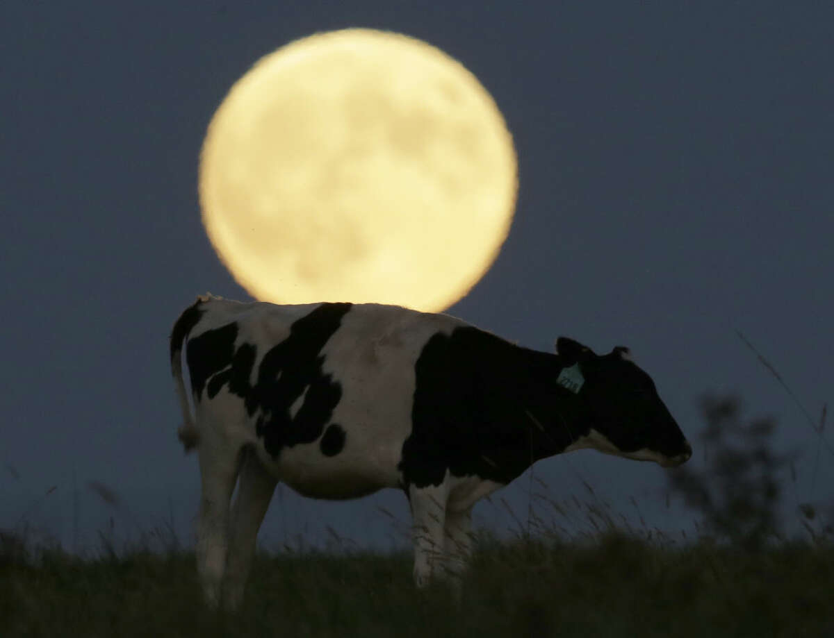 A super moon rises behind a grazing cow in a pasture near Lecompton, Kan., Sunday, Sept. 27, 2015, before a total lunar eclipse. It was the first time Sunday that the events have made a twin appearance since 1982, and they won't again until 2033. (AP Photo/Orlin Wagner)