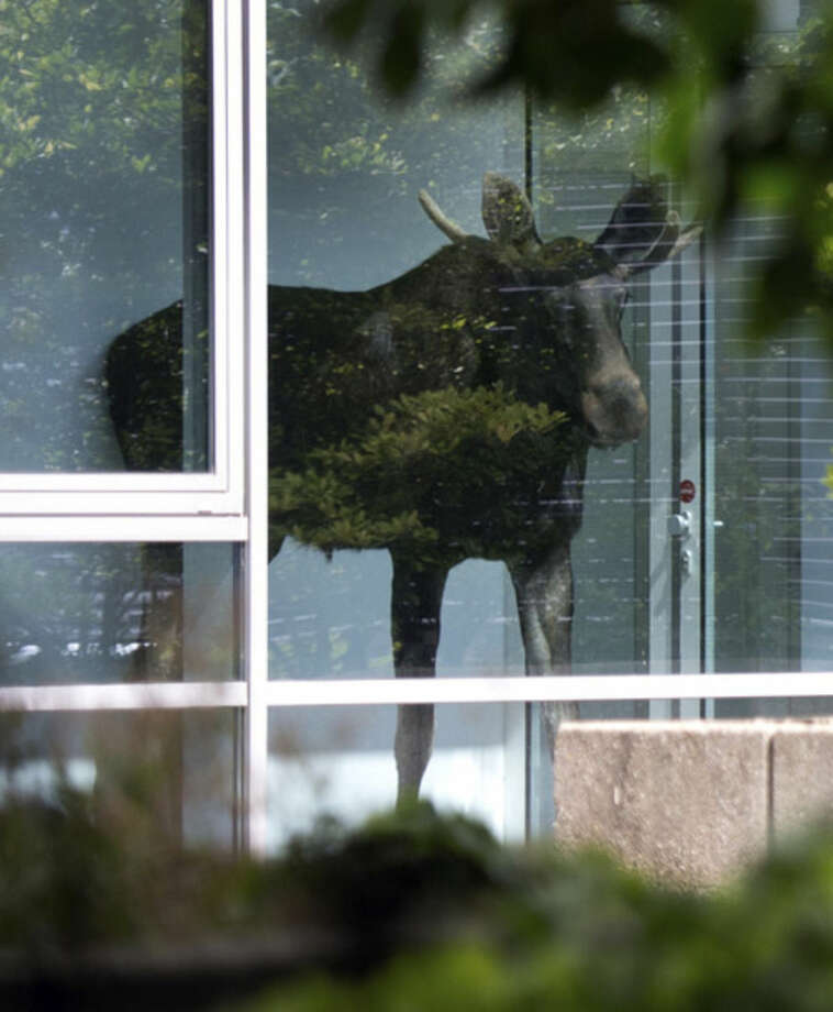 A young moose stands behind a window in an administration building of Siemens in Dresden, Germany, 25 August 2014. The two to three year old animal had already been seen in Radebeul near Dresden on the weekend. It is believed to have moved from the north, possibly Poland, to the Dresden Elbe Valley. Police are trying to capture a moose on the loose in the eastern German city of Dresden. A spokesman for Dresden police says the young bull walked into the offices of German industrial giant Siemens on Monday and got stuck behind a glass wall. Marko Laske says officers and wildlife are trying to shoo the moose into a container so he can be taken to the local zoo. Moose are rare in Germany and the animal is likely to have come from neighboring Poland. (AP Photo/dpa,Arno Burgi)