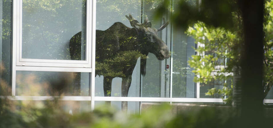 A young moose stands behind a window in an administration building of Siemens in Dresden, Germany Monday Aug. 25, 2014. Police are trying to capture a moose on the loose in the eastern German city of Dresden. A spokesman for Dresden police says the young bull walked into the offices of German industrial giant Siemens on Monday and got stuck behind a glass wall. Marko Laske says officers and wildlife are trying to shoo the moose into a container so he can be taken to the local zoo. Moose are rare in Germany and the animal is likely to have come from neighboring Poland. (AP Photo/dpa,Arno Burgi)