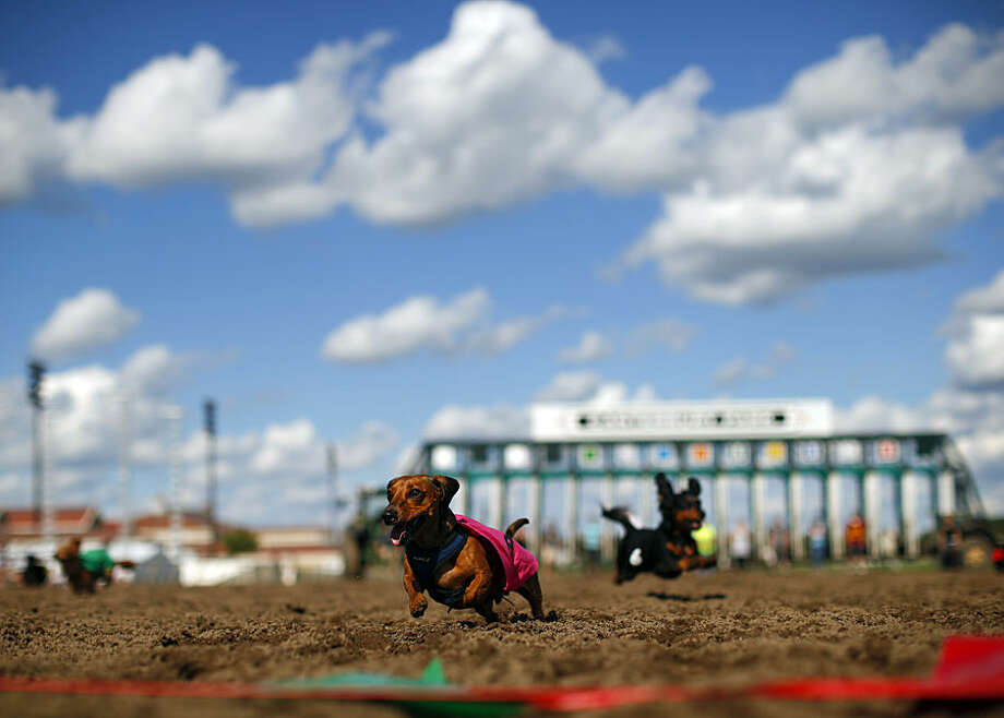 Mr. Peabody runs to the finish line in the sixth heat of a dog race Monday, Sept. 1, 2014, at Canterbury Park, in Shakopee, Minn. Canterbury Park hosted their annual Labor Day Wiener Dog Wars in which dogs competed in seven races on the horse track for the title of Grand Champion. (AP Photo/The Star Tribune, Jeff Wheeler)