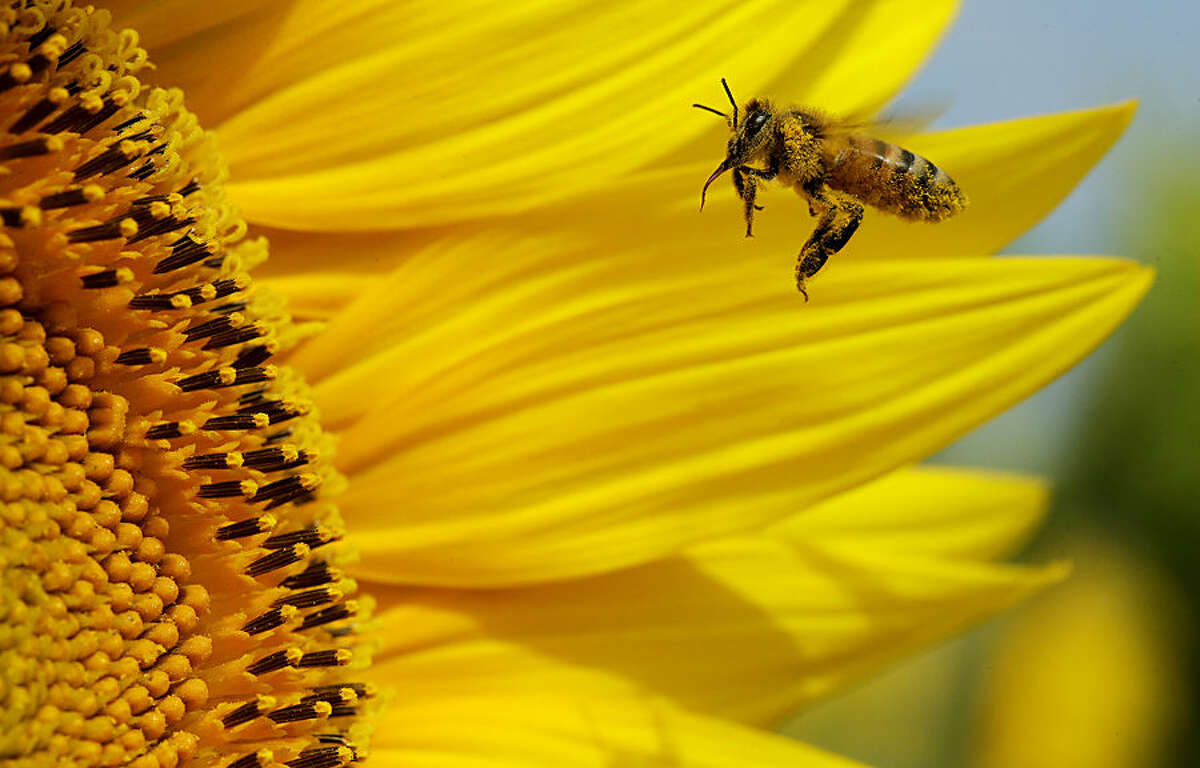A bee collects pollen in a sunflower field, Monday, Sept. 1, 2014, near Lawrence, Kan. The 40-acre field planted annually by the Grinter family draws bees and lovers of sunflowers alike during the weeklong late summer blossoming of the flowers. (AP Photo/Charlie Riedel)