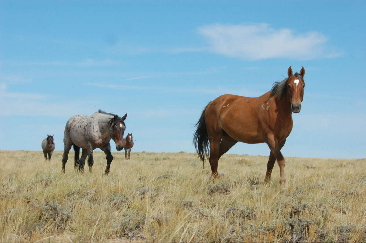 Contributed photo Wild horses in Wyoming.