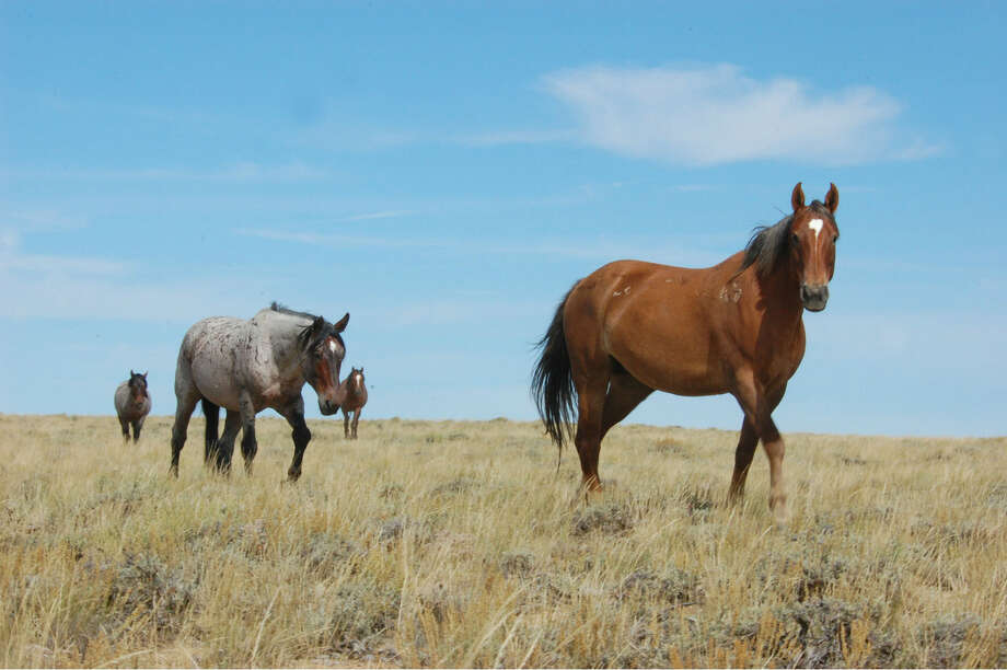 Contributed photoWild horses in Wyoming.