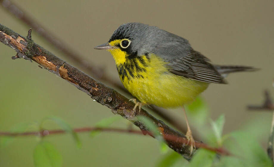 "Photo by William H. Maloros   Environmentalists are concerned about the impact of ""tar sands"" oil development in Canada's Boreal forest and the impact it might have on wildlife, including many species of birds. Pictured the Canada Warbler, one of many birds that depend upon the region."