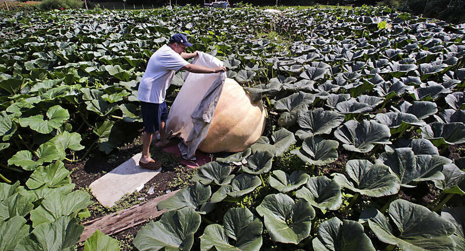 In this Tuesday, Aug. 18, 2015, photo, Ron Wallace protectively covers one of four giant pumpkins at the pumpkin patch in his garden outside his home in Greene, R.I. Wallace, a country club manager, has spent 27 years at the hobby, swapping ideas with growers worldwide. (AP Photo/Charles Krupa)