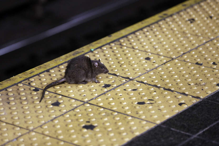 FILE - In this Jan. 27, 2015, file photo, a rat crosses a Times Square subway platform in New York. It's a problem practically as old as New York itself, how to handle the untold legions of rodents residing in the city. Last year, the city received more rat-sighting calls than ever before, and officials, led by a city rat scientist, are trying new and innovative ways to control the population, with mixed results. (AP Photo/Richard Drew, File)