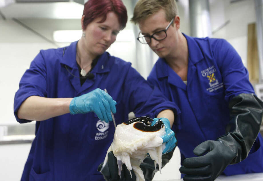 Scientist Kat Bolstad, left, from the Auckland University of Technology, and student Aaron Boyd Evans examine a beak of a colossal squid at a national museum facility Tuesday, Sept. 16, 2014, in Wellington, New Zealand. The colossal squid, which weighs 350 kilograms (770 pounds) and is as long as a minibus, is one of the sea's most elusive species. It had been frozen for eight months until Tuesday, when scientists in New Zealand got a long-anticipated chance to thaw out the animal and inspect it _ once they used a forklift to maneuver it into a tank.(AP Photo/Nick Perry)