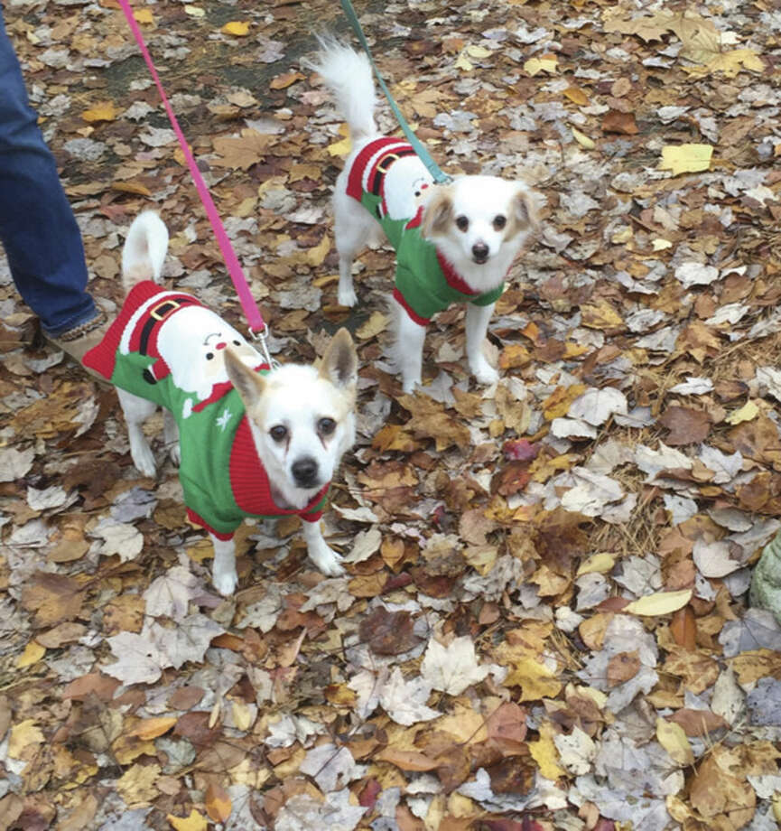 "Contributed photoWASA fosters Annabelle and Cupcake, wearing matching sweaters, will be in attendance at Nov. 14 event. Annabelle (pointy ears, 5) and Cupcake (4) come to WASA from a young woman in Bridgeport who was financially struggling, ""no money for pet food,"" and had moved into a no-pets residence. Annabelle and Cupcake lack vet records as they had not been vaccinated or spayed."