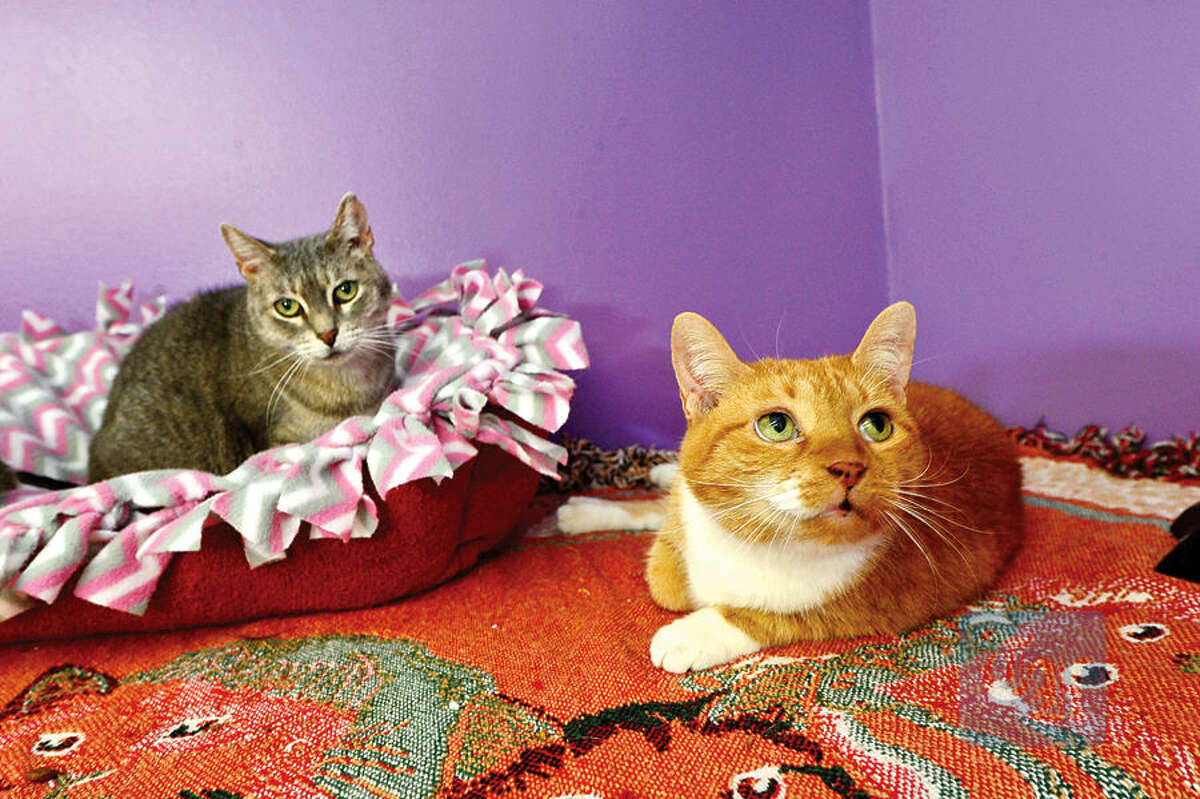 Mary and Monica, the late Father McKenna's cats who have come back to Animals in Distress in Wilton after his suicide.