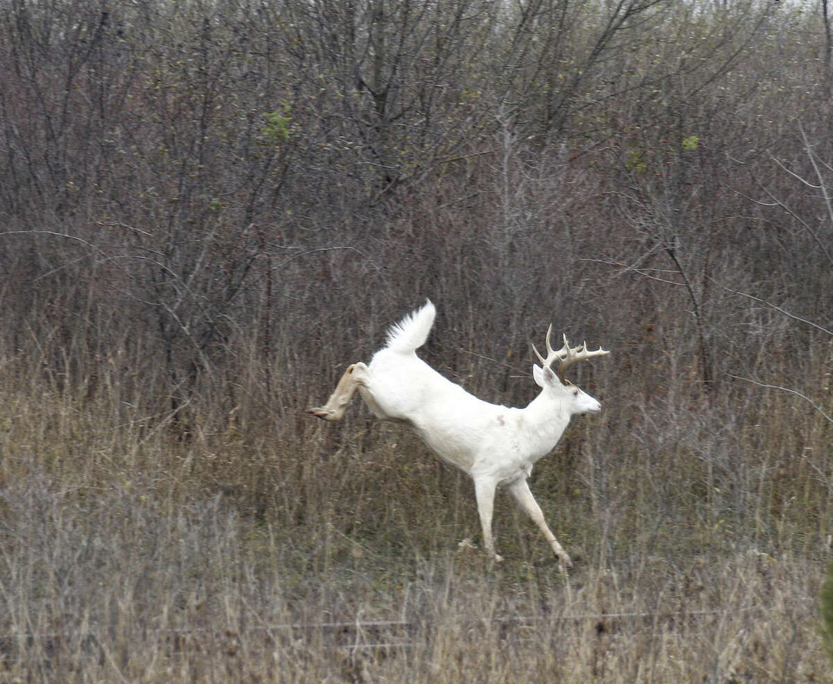 In a Dec. 31, 2010 photo provided by Seneca White Deer Inc., a white deer leaps at the former Seneca Army Depot in central New York. There are about 200 white deer, a natural variant of the brown white-tailed deer, on 7,000 acres of the decommissioned site that will soon be put up for bid. Several groups, including Seneca White Deer Inc. and The Nature Conservancy, are interested in buying the site to preserve the deer and open the area to tourism and outdoor recreation. (Dennis Money/Seneca White Deer Inc. via AP)