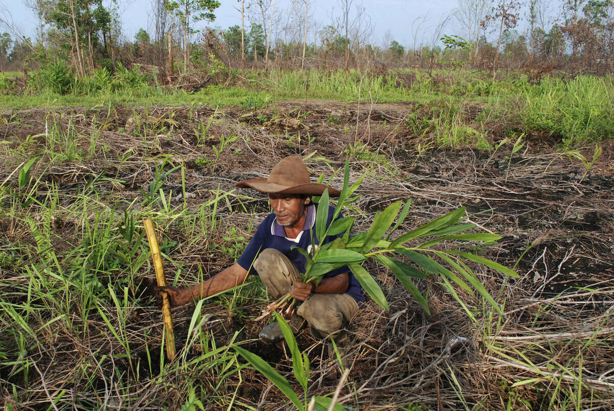 In this Monday, Nov. 9, 2015 photo, Sarip, a local farmer, plants galangal on what used to be his pineapple field in Rimbo Panjang, Riau province, Indonesia. The ecological disaster has inflicted a staggering toll on the region's environment, economy and human health: 2.1 million hectares (8,063 square miles) of forest consumed, 21 deaths, more than half a million people sickened with respiratory problems and $9 billion in economic losses, from damaged crops to hundreds of canceled flights. (AP Photo/Rony Muharrman)