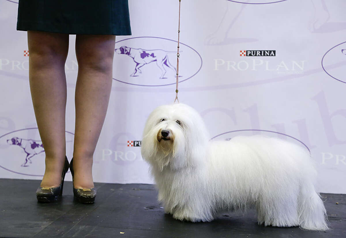 Luna, a coton de tulear, poses on stage during a news conference, Tuesday, Sept. 30, 2014, in New York. The Westminster Kennel Club announced that the wire-haired visla and the coton de tulear will be eligible to compete for the first time in the New York show next February. (AP Photo/Julie Jacobson)