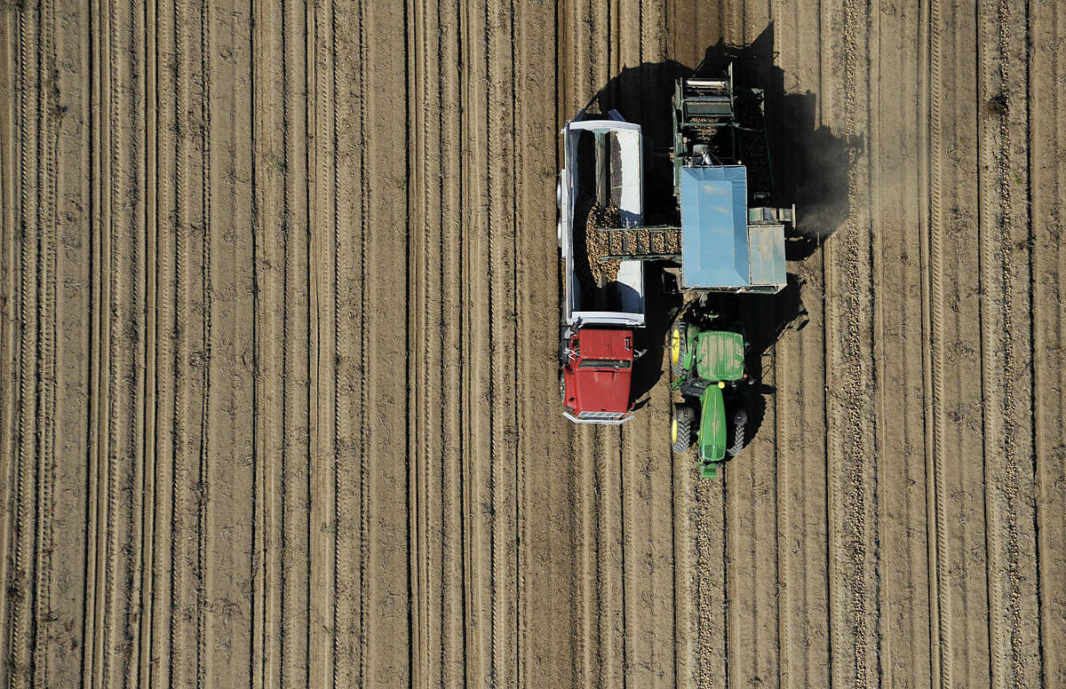 A tractor pulls a potato harvester along a windrow of potatoes Monday afternoon, Oct. 6, 2014, at the Lupini Farm along Route 339 in Mifflinville, Pa. The truck is expected to be filled with about 30,000 pounds of the harvested potatoes. (AP Photo/Bloomsburg Press Enterprise, Jimmy May)