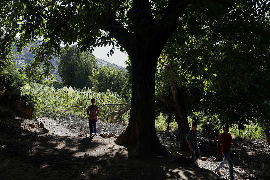 In this Sept. 14, 2014 photo, youths walk next to swaths of cannabis in the Village of Bni Hmed in the Ketama Abdelghaya valley, northern Morocco. There are an estimated 80,000 families in the rugged northern Rif mountains of Morocco who make their living from growing marijuana, according to U.N. estimates and their efforts have made Morocco the main hashish supplier for Europe and the world. (AP Photo/Abdeljalil Bounhar)