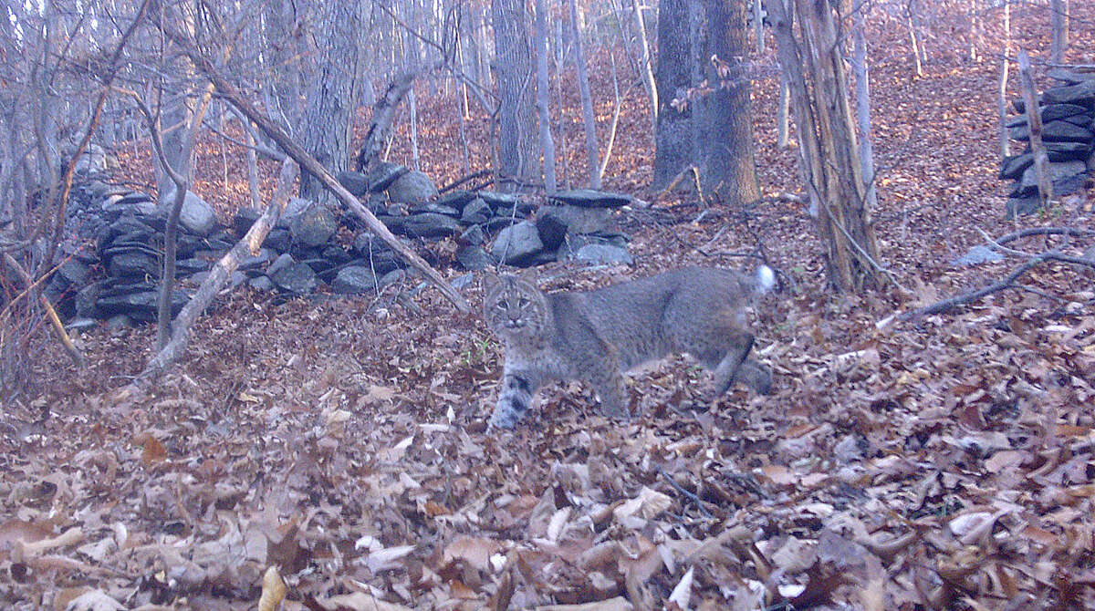 Contributed photo Rich Conklin of Wilton got this photo of a bobcat in Wilton on Nov. 16, 2015, using a game camera.
