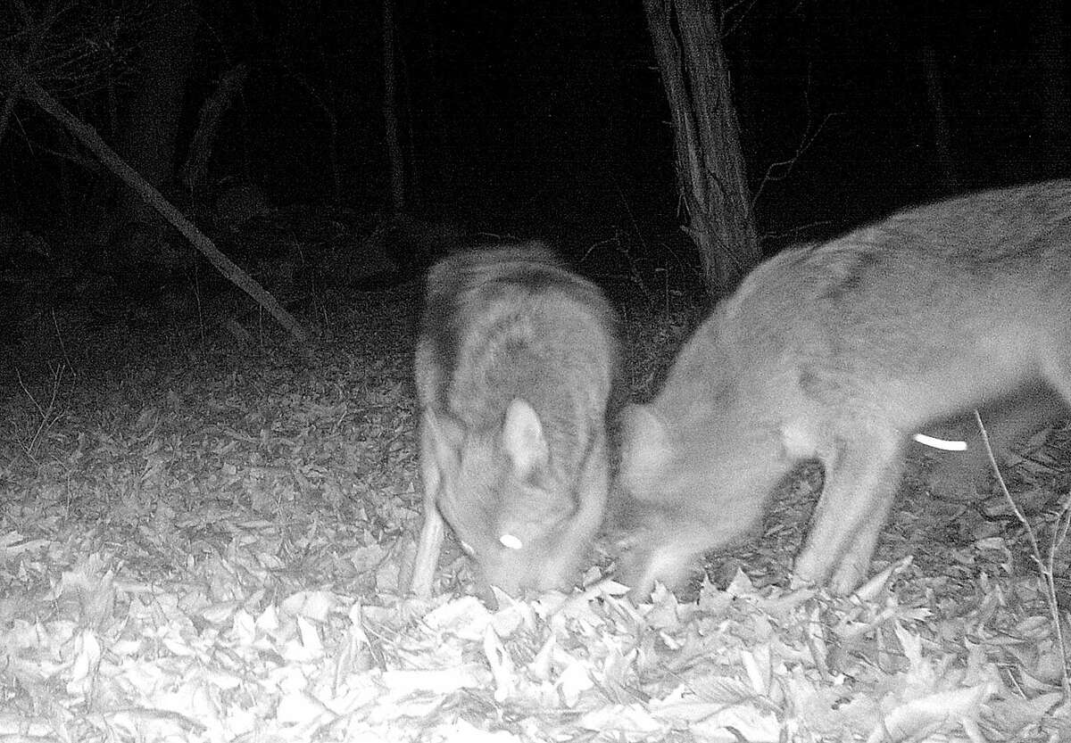 Contributed photo Rich Conklin of Wilton got this photo of coyotes in Wilton on Nov. 16, 2015, using a game camera.