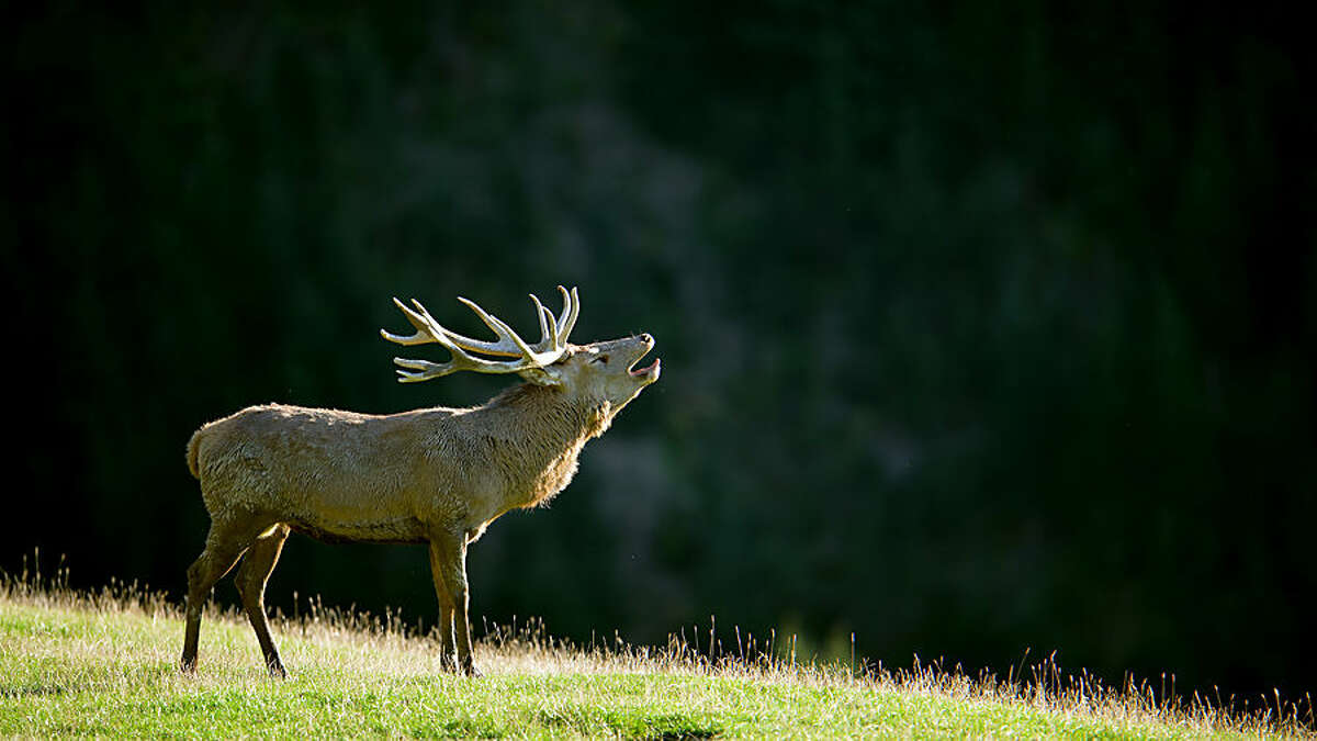 A rutting stag bellows in a wildlife park in Aurach near Kitzbuehel, in the Austrian province of Tyrol, on Thursday, Oct. 9, 2014. (AP Photo/Kerstin Joensson)