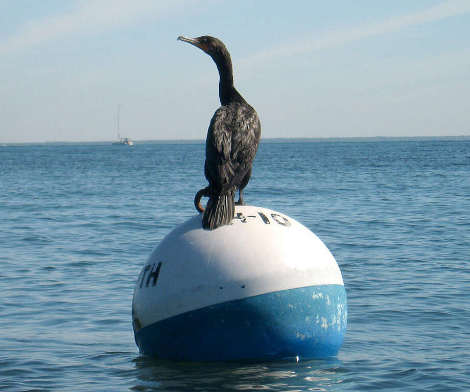 Photo by David ParkA cormorant sits on a buoy off the coast of Martha's Vineyard.