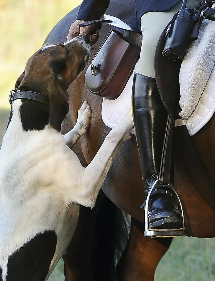 "In this Wednesday, Oct. 8, 2014 photo, hunt master William T. Stuart, of Fairfield County Hounds, feeds a biscuit to one of the dogs at the start of a hunt, in Bridgewater, Conn. American fox-hunting, a sport so steeped in tradition that riders still wear ties and blazers and cry out ""Tally ho!"" at the sight of prey, is adapting to a dramatic change: Foxes have been displaced by coyotes which, in turn, have become the hunters' new quarry. (AP Photo/Jessica Hill)"