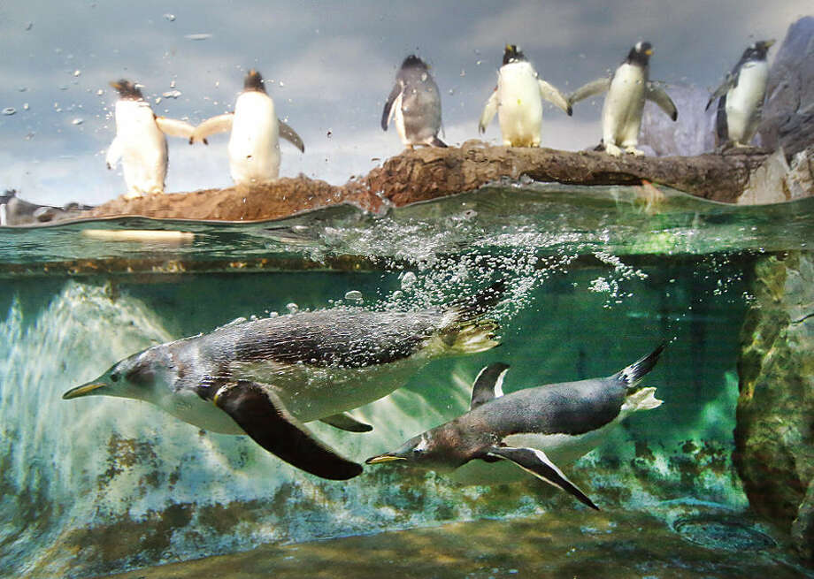 Two penguins swim in their pool while others stand outside the water in their enclosure in the zoo in Frankfurt, Germany, Monday, Dec. 7, 2015. (AP Photo/Michael Probst)